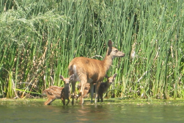 twin-fawns